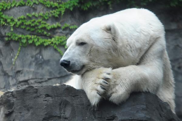 Goodbye, Gus: Central Park says goodbye to famous polar bear