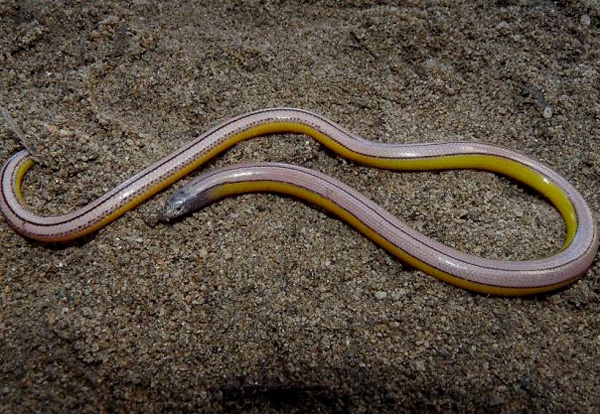 Legless lizard from California.
