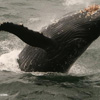Humpback whale breaching in Alaska
