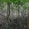Mangroves in Panama