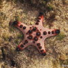 Pink, red, and black sea star  in Sulawesi