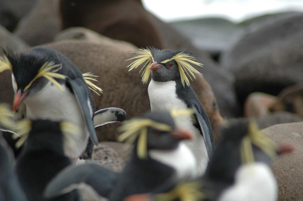 Eastern rockhopper penguin on its nest, Crozet Islands.  Photo by Jean-Baptiste Thiebot.