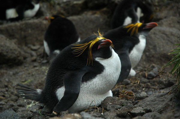 northern rockhopper penguin coming ashore on Amsterdam Island after their winter migration.  Photo by Jean-Baptiste Thiebot.