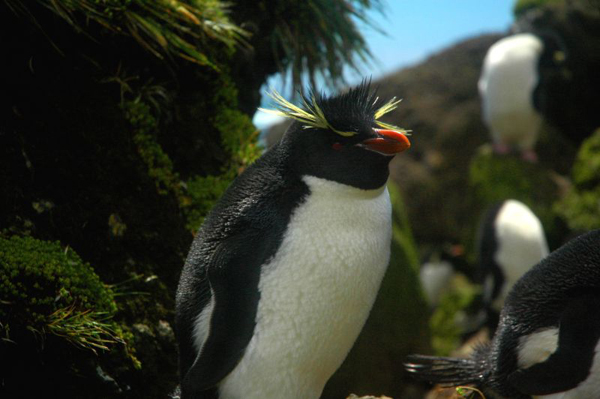 Northern rockhopper penguins coming back ashore among the fur seals, that I have taken on Amsterdam Island, southern Indian Ocean.  Photo by Jean-Baptiste Thiebot.