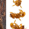 Tumbling ant (Melissotarsus emeryi) is the world's only ant incapable of walking on flat surfaces. This species spends its live inside narrow passage deep in the wood of trees and can only move by pushing its short legs below and above the body at the same time. Photo © 2013 Piotr Naskrecki