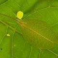 Sylvan katydid (Acauloplax exigua), a species found for the first time in over 100 years since it was originally described Photo © 2013 Piotr Naskrecki