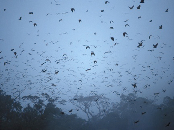 World's largest (harmless) bat inspires Halloween-worthy tales in the Philippines