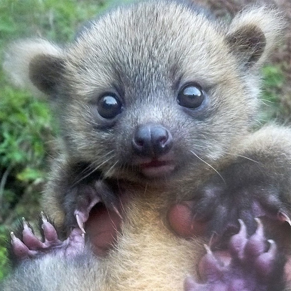 Baby olinguito found in SavingSpecies project site in Colombia. Photo by Juan Rendon.