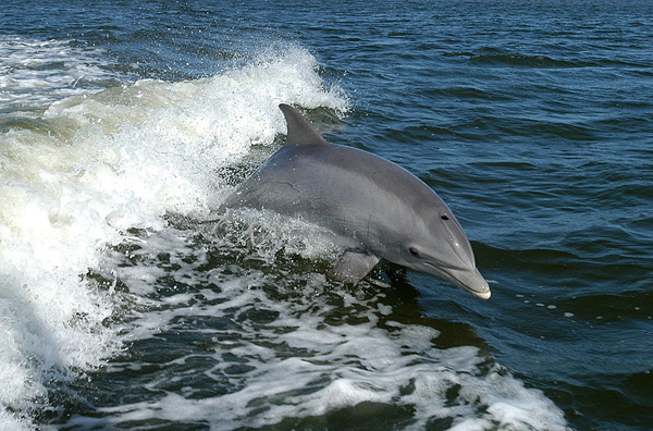 A bottlenose dolphin (Tursiops truncatus) breaching in a wake.  Photo in the public domain provided by NASA.