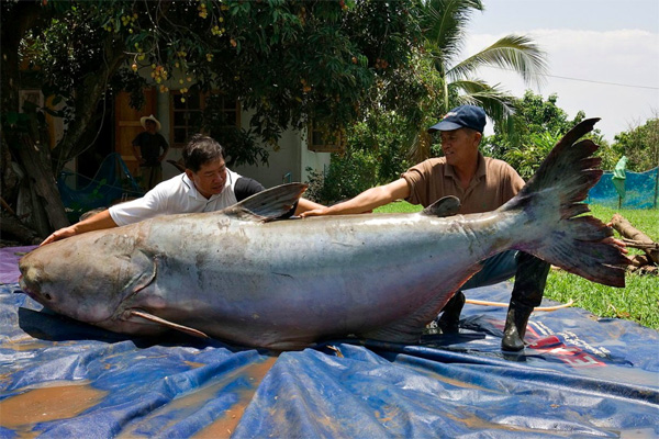 The world's largest catfish