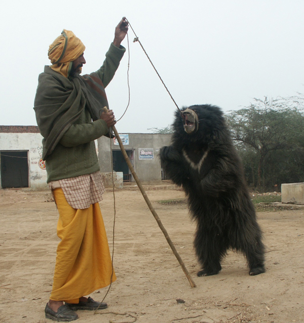 Qalandar making a bear dance. Photo courtesy of WildlifeSOS-India.