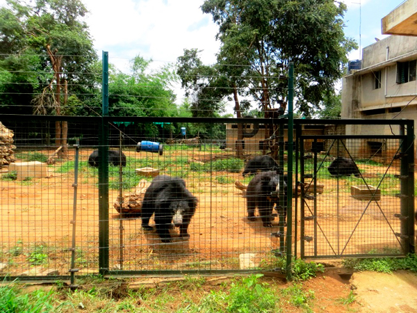 The 'DON' bears in an enclosure at BBRC. Photo courtesy of Shreya Dasgupta.