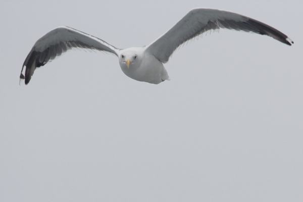 A seabird in flight. Photo by Tiffany Roufs.