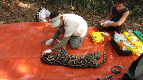 Veterinarian Fernando Nájera preparing to collar and collect samples from an anesthetized Sunda clouded leopard as part of a conservation research project. Photo by Danau Girang Field Centre.