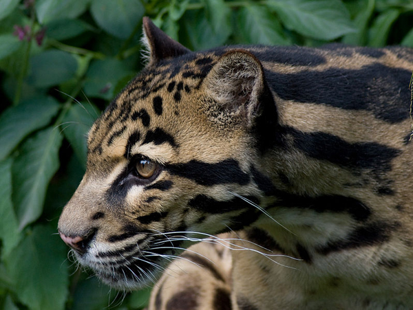 A close up of a Sunda clouded leopard. Photo courtesy of Spencer Wright under a Creative Commons Attribution 2.0 Generic license.