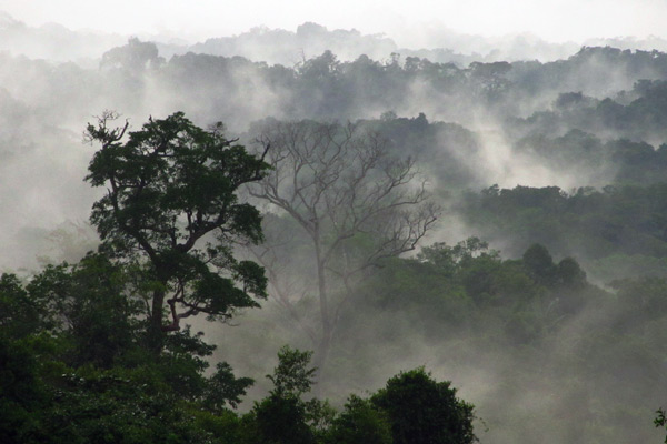 A misty morning in the Amazon rainforest, looking out from a canopy platform in the BDFFP. Credit: Gilberto Fernandez.