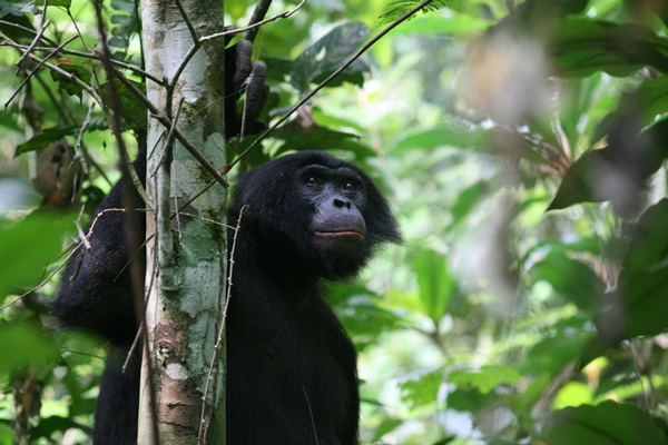 A bonobo (<i>Pan pansicus</i>) in the Congo Basin. Photo by Terre Sauvage.