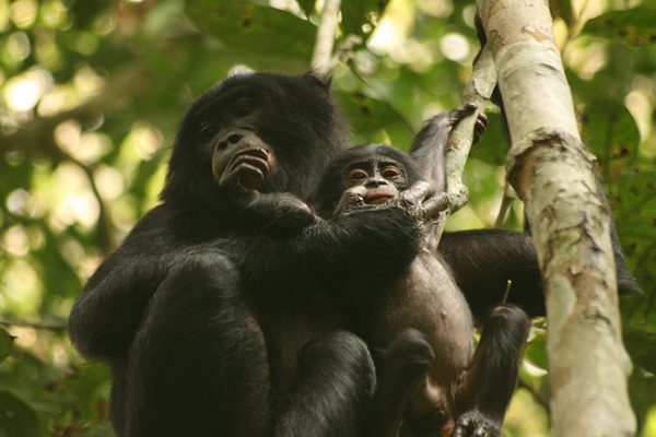 A bonobo mom and baby (<i>Pan pansicus</i>). Photo by Terre Sauvage.