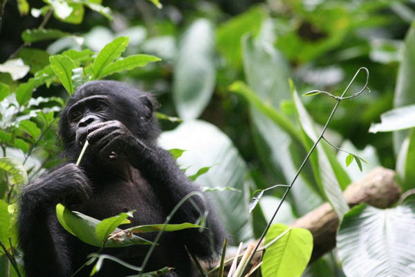 A bonobo (<i>Pan pansicus</i>) enjoys lunch. Photo by Terre Sauvage.