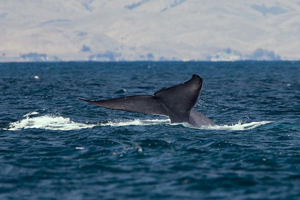 A blue whale fluke off the coast of California. Photo courtesy of
