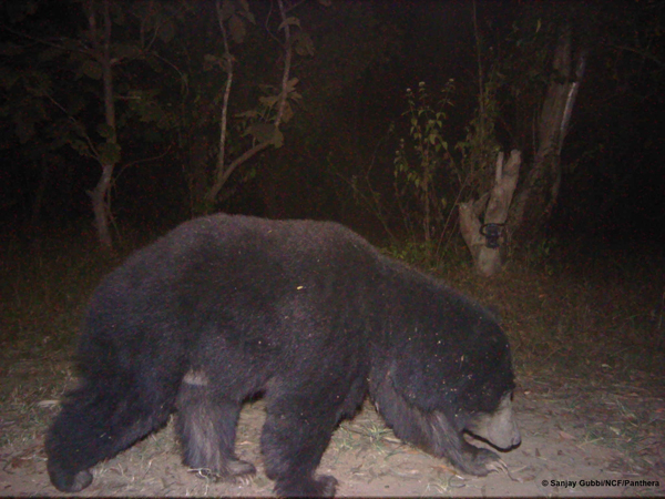 A bear caught on camera trap. Photo courtesy of Sanjay Gubbi/NCF/Panthera.