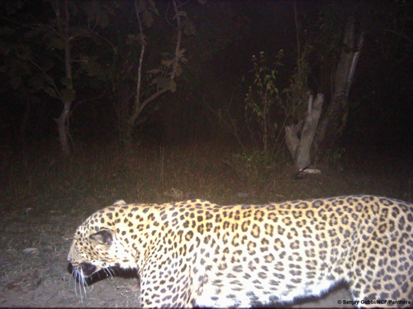 The opposite camera captures a leopard. Photo courtesy of Sanjay Gubbi/NCF/Panthera.