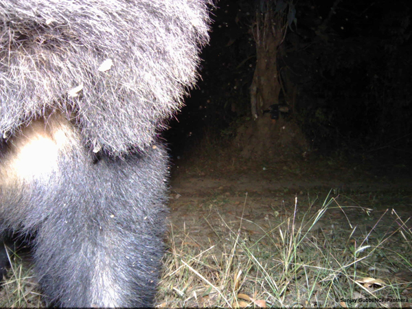 The sloth bear investigating the camera. Sanjay Gubbi/NCF/Panthera.