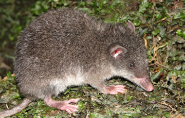 The newly discovered marsupialCaenolestes sangay) with its signature small ears and long snout.