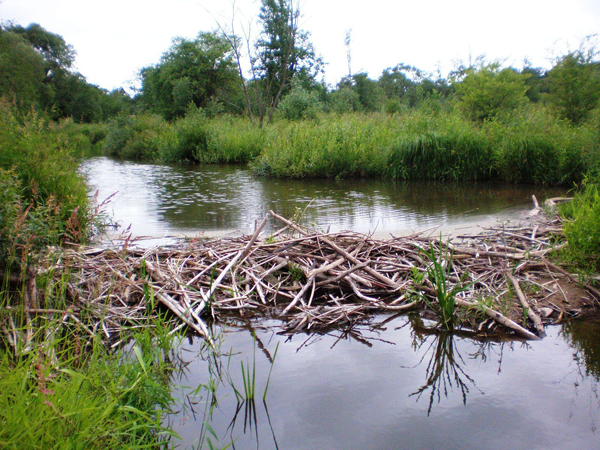 A beaver dam on the Smilga River in Lithuania. Photo credit Wikimedia Commons via the Attribution share-Alike 3.0 Unported License