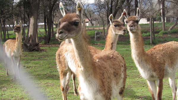 Three of the six guanacos at the breeding facility in which they reside, soon to be released into a plot of espinal for Root-Bernstein's study. Photo credit: Meredith Root-Bernstein