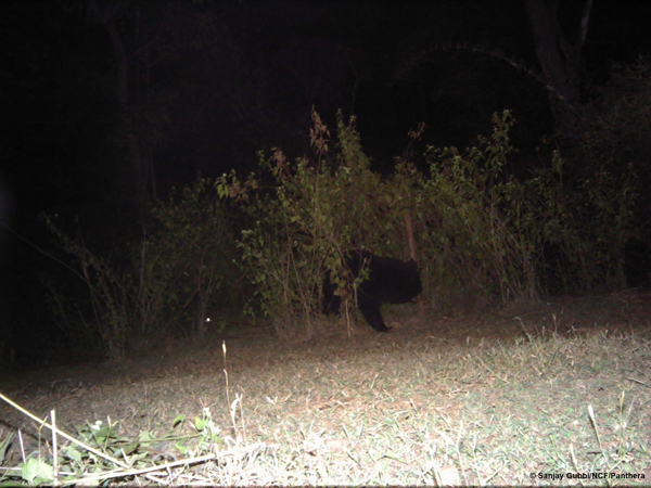 A sloth bear investigating and flipping a camera. Sanjay Gubbi/NCF/Panthera.