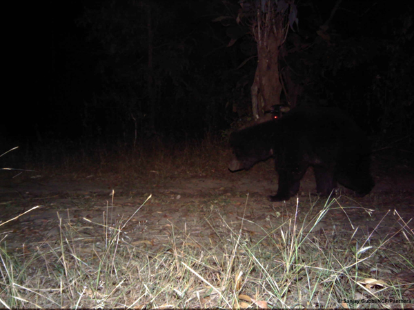 The camera captures the sloth bear before it starts to pull it down. Photo courtesy of Sanjay Gubbi/NCF/Panthera.