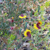 Bossiaea disticha. Courtesy of Barry Lang