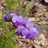 Hovea trisperma. Courtesy of Barry Lang