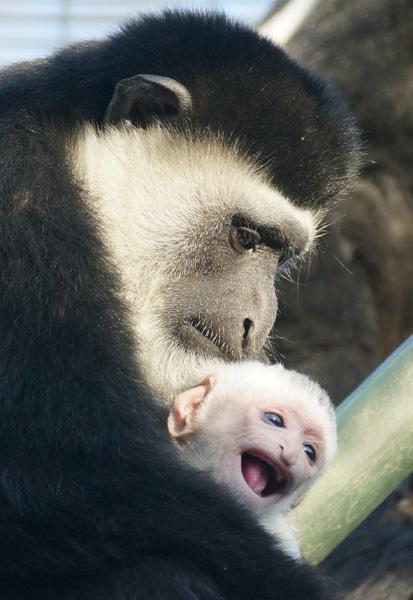 Gummy grin: colobus monkey born at ZSL London Zoo