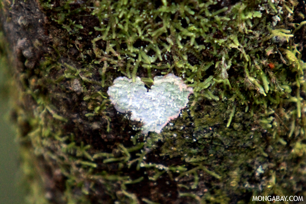 Heart-shaped lichen in Madagascar.