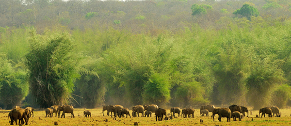 An impressive herd of 100+ Asian elephants. Photo courtesy of Amoghavarsha.
