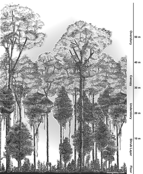 Diagram Showing The Rainforest Canopy Structure