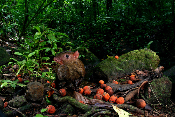 Agouti eating palm seeds. Photo credit: Christian Ziegler.