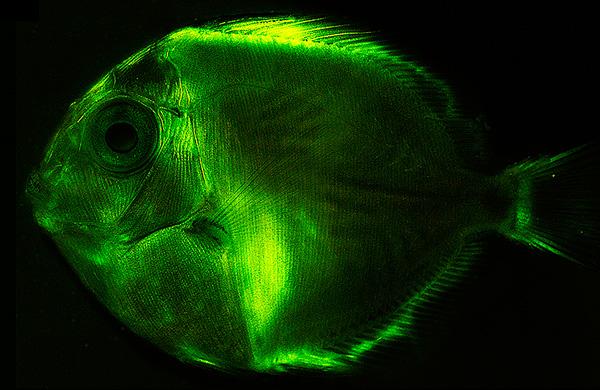 surgeonfish (Acanthurus coeruleus, larval).