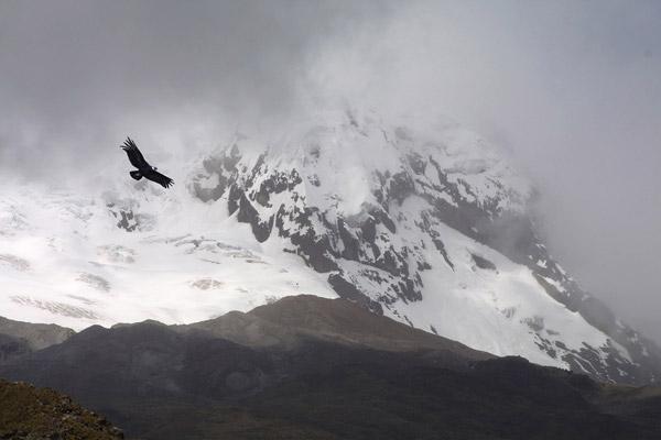Condor with Antisana Volcano