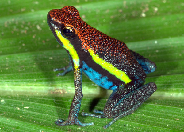 Ameerega-macero poison dart frog in Manu N.P. Photo by Alessandro Catenazzi.