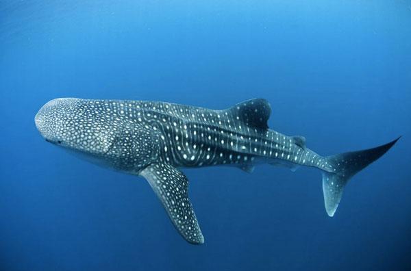 Living whale shark