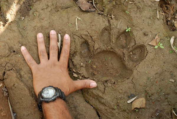 Tiger scat and scrape mark. Photo credit: Aditya Joshi