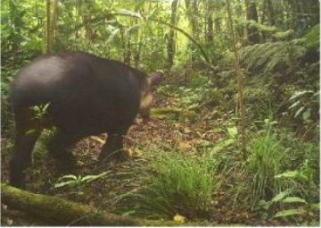 A Baird's tapir captured via a camera trap during the study. Photo by: Carbajal-Borges et al.