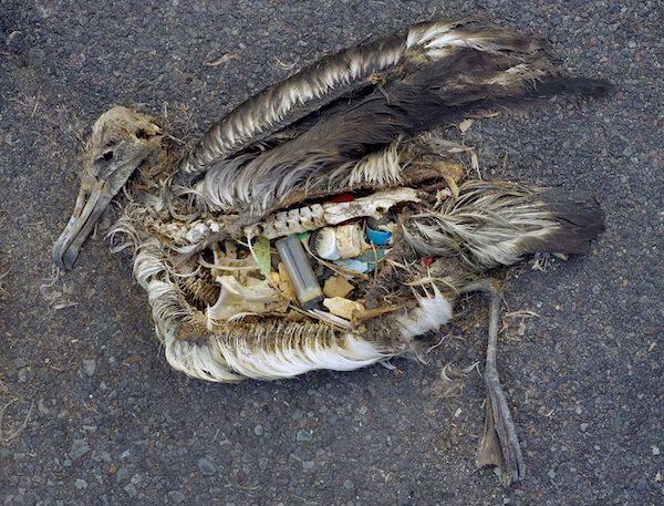 Animals readily mistake plastic floating in the ocean for food. This albatross chick likely starved after it was fed too much plastic by its parents. Photo courtesy of the U.S. Fish and Wildlife Service.