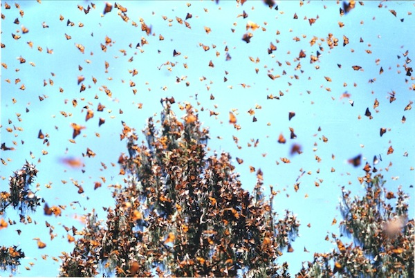 A wintering mass of monarchs. Photo by: Raina Kumra.