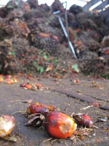 Oil palm fruits ready to be processed. Photo by Tanya Dimitrova.