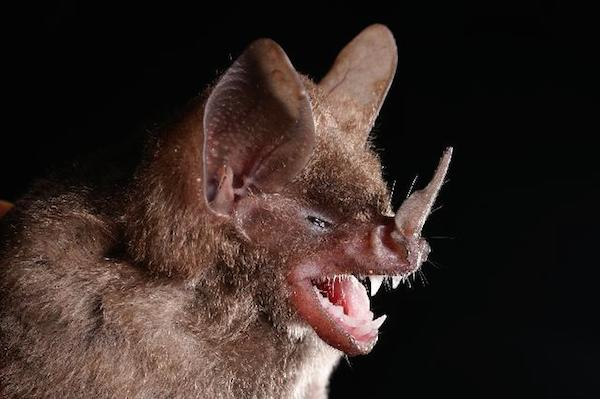 Seba's short-tailed bat (Carollia perspicillata), is closely related to Sowell's short-tailed bat (Carollia sowelli), and is an important seed-disperser in South and Central America. Photo by Alex Borisenko.