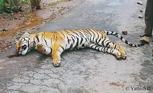 Tiger killed on Bandipur highway. Photo by Yathish Kumar.